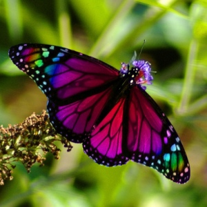butterfly-rainbow