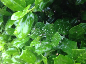 Spiderweb on a holly bush after rain.
